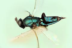 Ex Coleophora laricella, Sydney Australia (Macroscopic Solutions) Tags: wasp arachnid solutions macropod casing diptera hymenoptera pseudoscorpion caddisfly macroscopic hemptera focusstacking macroscopicsolutions