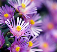Mittagsblume - Lampranthus deltoides (Danyel B. Photography) Tags: plant flower color macro ex nature close blossom bokeh details natur pflanze sigma os sharp petal nah blume makro blte dg lampranthus deltoides 105mm mittagsblume scharf schrfe fantasticflower