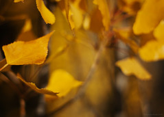 the other side of indigo (birdcloud1) Tags: autumn newzealand gold poplar seasons autumnleaves change wanaka lettinggo canon50mm18 poplartrees 50mmlens 50mm18lens eos400d canoneos400d poplarleaves seasonalshift vitaminyellow amandakeogh amandakeoghphotography birdcloud1 theothersideofindigo