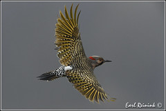 Northern Flicker (Earl Reinink) Tags: ontario woodpecker nikon niagara mating earl flicker northernflicker nikond5 earlreinink reinink ddadruhdra