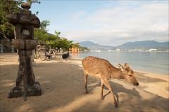 myajima-1572-ps-w (pw-pix) Tags: morning beach water japan bay funny hiroshima deer miyajimaisland walkway lantern itsukushima toriigate myajima miyajimaguchi hiroshimabay thegreattorii