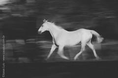 _DSC8781 (Izaias Lus) Tags: brasil caballos photography photographie cavalos equestrian equine nordeste chevaux equino haras equestre garanhunspe