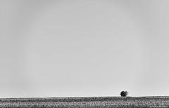 Pfalz (rainerneumann831) Tags: blackwhite landschaft baum pfalz weinberge grnstadt