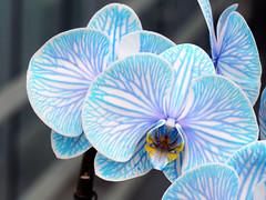 beautiful orchids (tamasmatusik) Tags: flowers orchid flower macro orchids sony 55mm virg orchidea nex dobrovnik macroflowerlovers sonynex nex3n dobronak