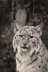 Heidi (Cloudtail the Snow Leopard) Tags: female cat heidi zoo feline katze karlsruhe luchs pinselohr