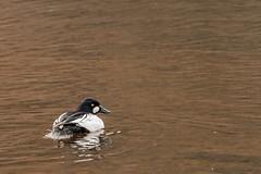 SLN_1602770 (zamon69) Tags: bird water animal se duck skne sweden vatten djur fgel skralid