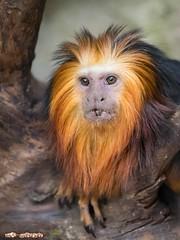 Goldkopflwenffchen / Golden-headed lion tamarin (Burnett0305) Tags: monkeys affen leontopithecuschrysomelas primaten goldenheadedliontamarin callitrichidae lwenffchen goldkopflwenffchen liontamarin krallenaffen trockennasenprimaten