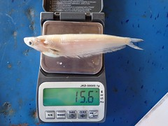 Weighing fish