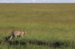 Leopard Plain (David Abresparr) Tags: tanzania wildlife safari leopard bigcat serengeti wildcat