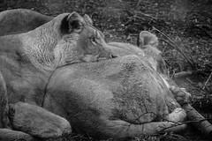 Soligor 300mm f5.5 (Caledonia84) Tags: west sisters zoo scotland five sony lion 300mm calder lothian soligor f55 a6000 polbeth