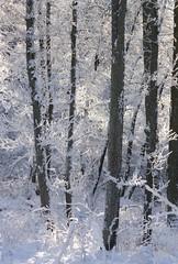 (:Linda:) Tags: germany thuringia village bürden hoarfrost tree snow