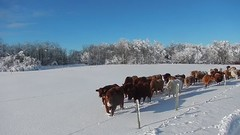 Season's Greetings from the herd of us! (Jeannette Greaves) Tags: xmas winter snow day cows hugh jeannette 2015