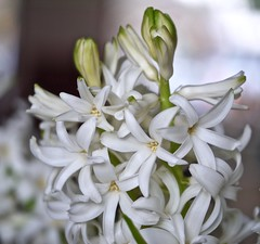 White Garden Hyacinth. (Fijgje On/Off) Tags: white flower macro blume makro wit weiss bloem hyacint hyazinthe hyasinth hyacinthusorientalis gartenhyazinthe panasonicdmcg1 fijgje leicadgmacroelmarit45f28 jan2016