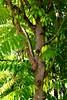 Averrhoa-bilimbi_HonoluluZoo_Cutler_20151231_152812 (wlcutler) Tags: hawaii waikiki oahu honolulu honoluluzoo averrhoa averrhoabilimbi pinnatelycompoundleaves