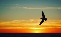 California Sunsets   #california #santamonica #sunset #canonusa #canonphotography #seagull #sunsets #pacific #water #ocean #beach #cali #la #getoutside #getoutdoors #findyourselfoutside #letswander #travelstoke #traveldudes #travelgram #traveling (dougrm1513) Tags: square squareformat clarendon iphoneography instagramapp uploaded:by=instagram foursquare:venue=5227786f498ef2424928ea2c