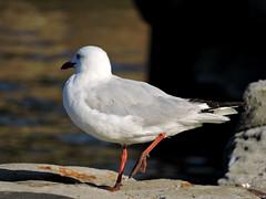 Juvenile Silvergull (Merrillie) Tags: seagulls nature birds animals fauna nikon bokeh wildlife gulls australia coolpix woywoy silvergull p600 nswcentralcoastnsw centralcoastnsw