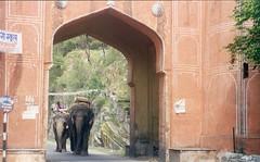 Elephants entering the Amber Fort at Jaipur, India (Animal People Forum) Tags: india elephant animals asian riding elephants mammals workinganimals jaipur asianelephant amberfort