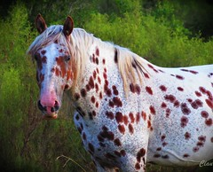 Caballo dálmata (locuraclau) Tags: naturaleza canon dálmata manchas caballor