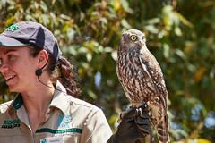 1T9A1313 (johncarney) Tags: bird animal fauna australia healesville healesvillesanctuary victoria owl barkingowl ninoxconnivens winkingowl barkingboobook