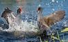 Bird Brawl (Nikographer [Jon]) Tags: commongallinule bird birds fight 20150408d810005856 florida lakeland imagesforblog1 d810 nikon nikographer