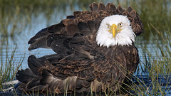 Bald Eagle ... (photosauraus rex) Tags: wild canada bird vancouver bc eagle outdoor baldeagle raptor bathing haliaeetusleucocephalus valentinesday haliaeetus leucocephalus inthewild nonzoo nonraptorshow