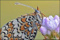 Melithaea phoebe (Explore) (alfvet) Tags: macro nature colors wings ngc natura ali colori insetti farfalle parcodelticino veterinarifotografi