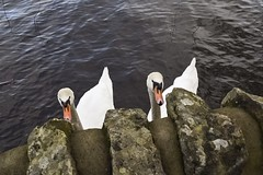 Argyll ramblings (Anne Young2014) Tags: swans lochlomond