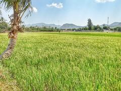 Green peace (esetianto) Tags: village paddy sawah