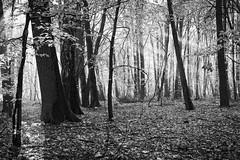 *** (pszcz9) Tags: morning las autumn blackandwhite bw sun mist tree nature monochrome forest landscape sony poland polska poranek a77 jesie przyroda mga drzewo beautifulearth pejza sosk