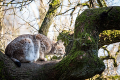 Lying in Wait (The Wasp Factory) Tags: tierpark lynx wildpark sababurg wildlifepark luchs eurasianlynx lynxlynx eurasischerluchs nordluchs tierparksababurg