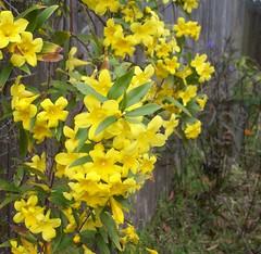 Carolina Jessamine - Gelsemium sempervirens (onlineplantexchange.com) Tags: flower yellow vine carolina jessamine
