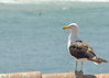Gaviota (fedu.allendes) Tags: sea portrait bird seagull ave möwe 海 gaviota racek 海鸥 鴎 갈매기 seabird