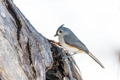 quabbinwinter2016-488 (gtxjimmy) Tags: winter bird mouse nikon tit massachusetts newengland reservoir tufted quabbin tamron songbird quabbinreservoir d600 watersupply nikond600 150600mm