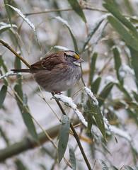 White  Throated Sparrow (Family Man Studios) Tags: winter snow nature birds canon cardinal wildlife sparrow delaware newark newarkdelaware backyardbirds 70d winterscenery delawareonline dougholveck