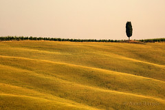 the country of cypress (Anne.Berger) Tags: italien italy field feld tuscany cypress toskana zypressen