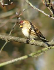 Redpoll XII (female) (Dr Nigel) Tags: england bird nature birds lumix wildlife reserve panasonic finch naturereserve northeast teleconverter redpoll dwt lowbarns raynox dmcfz8 lowbarnsnaturereserve dcr2025pro