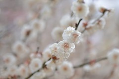as soft as snow (snowshoe hare*(catching up)) Tags: flowers flower kyoto blossoms    plumblossoms japaneseapricot  kitanotenmangushrine  dsc0628
