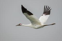 State Of Grace (gseloff) Tags: bird texas wildlife bif endangeredspecies whoopingcrane aransasnwr gseloff