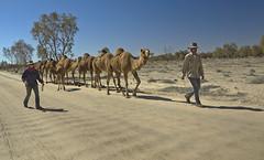 _DSC7901 (slackest2) Tags: bush walk south australia camel queensland outback camels wills bourke donga innaminka
