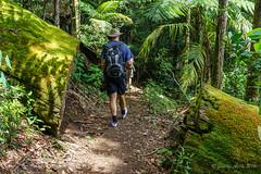 Warrie Circuit track (NettyA) Tags: log track australia trail bushwalking qld queensland bushwalk springbrook goldcoasthinterland 2016 springbrooknationalpark scenicrim seqld warriecircuit bushwalker scbwc sonya7r