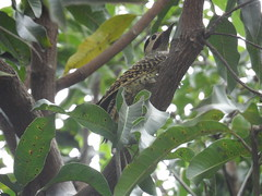 52/366 Woodpecker! (JessicaBelotto) Tags: tree folhas nature animal woodpecker foto ar natureza pássaro days honey ave ao fotografia projeto árvore livre picapau simpático fotografico 366 pousou 366daysofhoney 366diasnoano