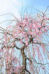 20160305-DSC_1474.jpg (d3_plus) Tags: park street sky plant flower nature festival japan garden drive nikon scenery plum bloom  28105mmf3545d odawara nikkor  ume  kanagawa  touring      28105   28105mm   umeblossom   zoomlense    28105mmf3545 d700 281053545 kanagawapref nikond700 aiafzoomnikkor28105mmf3545d 28105mmf3545af aiafnikkor28105mmf3545d