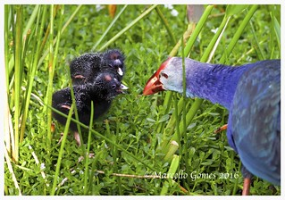Gray-headed Swamphen ( Porphyrio poliocephalus)  - Feeding her Two Chicks.