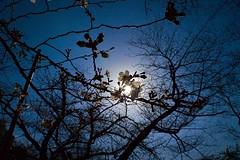 Flash of a cherry blossom (sapphire_rouge) Tags: 早咲桜 kagurazaka hanami 春 spring japanese mejiro pink cherryblossom 花見 cherry tokyo japan メジロ sakura 日本 桜