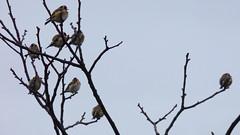 Ptičice