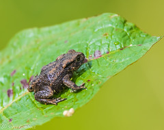 Common Toad sunning itself on a leaf. (steve.gombocz) Tags: nature nikon wildlife amphibian toads toad frogs spawn hornseamere nikond810