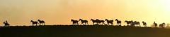 Entropilhando (Eduardo Amorim) Tags: sunset brazil horses horse southamerica brasil criollo caballo cheval atardecer caballos tramonto sonnenuntergang prdosol cavalos pelotas pferde cavalli cavallo cavalo gauchos pferd riograndedosul poniente anoitecer coucherdesoleil brsil chevaux gaucho cavall entardecer crepsculo  amricadosul poente gacho amriquedusud  gachos  sudamrica suramrica amricadelsur sdamerika crioulo caballoscriollos criollos  costadoce americadelsud crioulos cavalocrioulo americameridionale caballocriollo eduardoamorim cavaloscrioulos