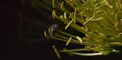 Once In A Lifetime (harefoot1066) Tags: agave maguey centuryplant hymenoptera agaveamericana megachilidae megachile apoidea aculeata asparagaceae anthophila megachilinae megachilini agavoideae leafcutterandresinbee