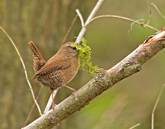 Winterkoning (Troglodytes troglodytes) (Hennie Cuper) Tags: vogels birds