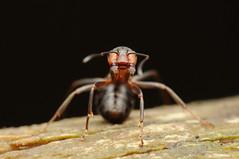 Angry Ant (Formica polyctena) (-denju-) Tags: macro insect diy flash handheld makro insekt diffuser ameise photomacrography raynoxdcr250 waldameise nikond90 tamron60mm meikemk320 kahlrückigewaldameisewoodant